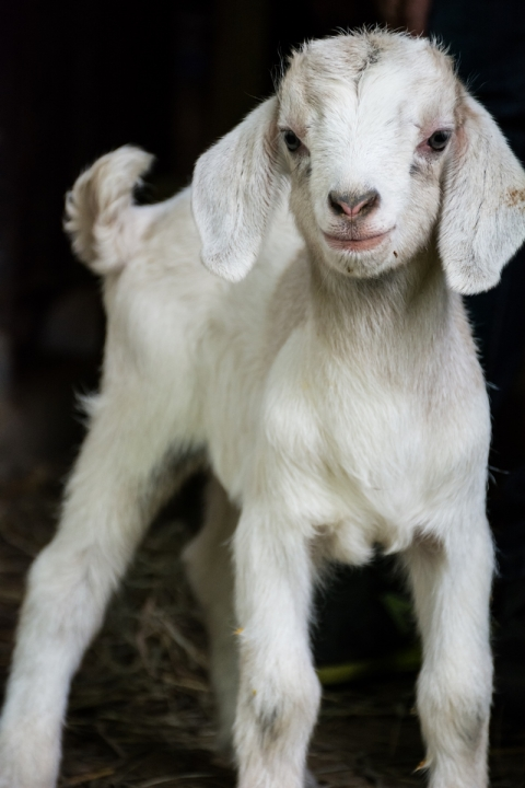 Baby goat at the Blandford Nature Center